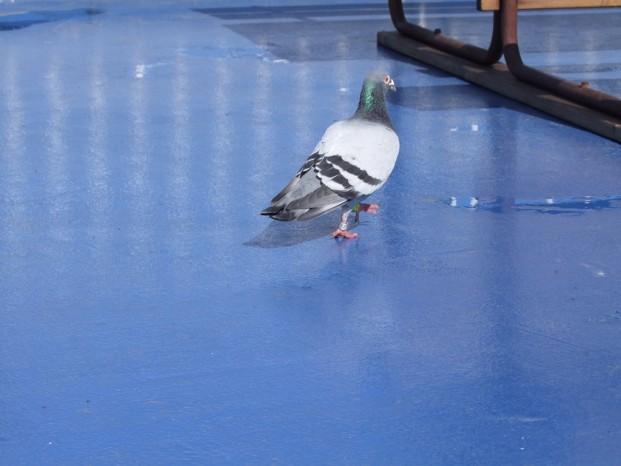 Pigeon voyageur nous accompagne jusqu'à Helsinki