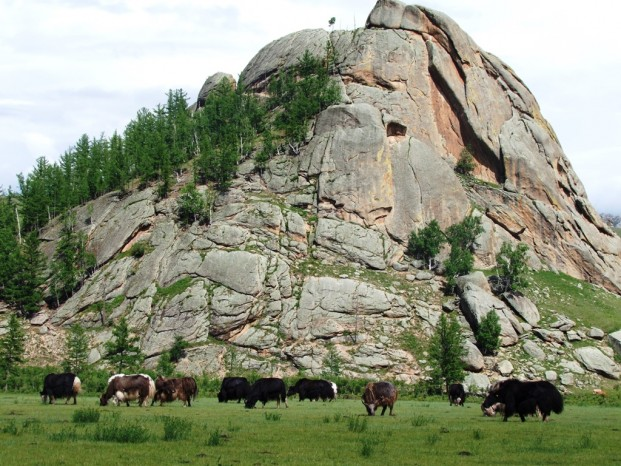 Des yaks.