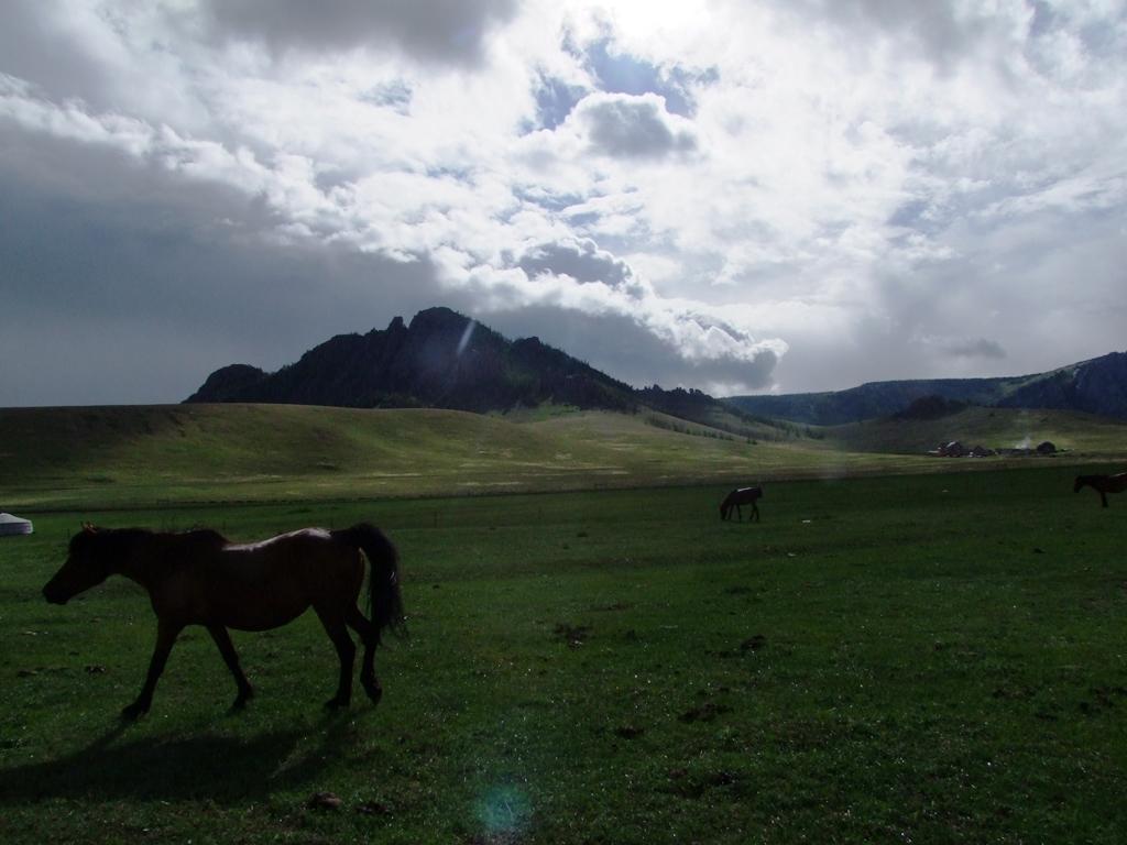Les cheveaux mongols.